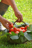 Farmer hands collecting cutting tomato Stock Photo