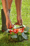 Farmer hands collecting cutting tomato Royalty Free Stock Image