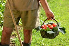 Farmer hands collecting cutting tomato Royalty Free Stock Images