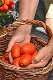 Farmer hands collecting tomato Stock Photo