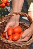 Farmer hands collecting tomato Stock Photo
