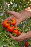 Farmer hands collecting tomato Stock Photos