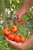 Farmer hands collecting tomato Royalty Free Stock Photos