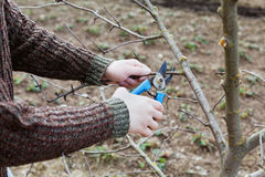 Farmer hands cuts with pruning shears fruit trees in garden. Farmer hands cuts with pruning shears fruit trees in a spring garden royalty free stock images