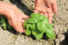 Farmer hands getting basil Royalty Free Stock Photography
