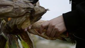 Farmer hands holding corn ear at autumn. Female check maize plant and peels corn cobs on harvest time stock video
