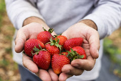 Farmer hands  holding freshly picked strawberries on the field Royalty Free Stock Images