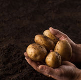 Farmer hands holding potatoes above black ground Stock Images
