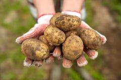 Farmer hands holding potatoes at farm Royalty Free Stock Photography