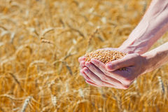 Farmer hands holding ripe wheat corns Royalty Free Stock Photography