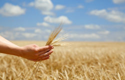 Farmer hands keep crops over field. Stock Photos
