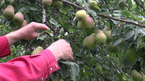 Farmer hands picking ripe fresh pears from tree stock video footage