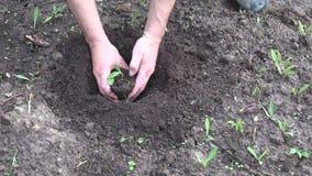 Farmer hands planting pumpkin seedling in soil stock video