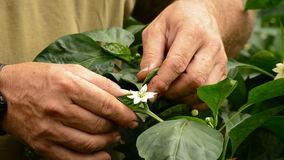 Farmer hands revising leaves and flower of pepper plant in greenhouse stock video