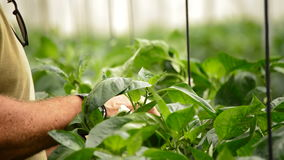Farmer hands revising leaves and flower of plant in agricultural greenhouse stock video footage