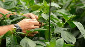 Farmer hands revising leaves and flower of plant in greenhouse stock video