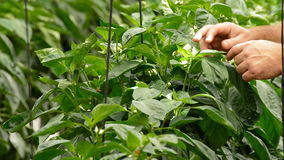 Farmer hands revising leaves of plant in greenhouse stock footage