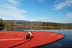 Farmer harvesing cranberries Royalty Free Stock Image