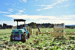 Farmer harvest cabbage in farm with reaping machine in Japan Kagoshima Sakurajima. Farmer working in farm with reaping machine in Japan Kagoshima Sakurajima Stock Photos