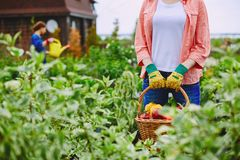 Farmer with harvest Royalty Free Stock Image