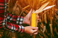 Farmer with harvest ready ripe corn maize cob in field Stock Image