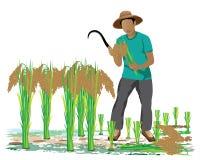 Farmer harvest rice Royalty Free Stock Photo