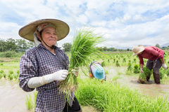 Farmer harvest rice sprout. Stock Image