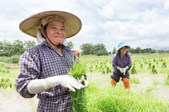 Farmer harvest rice sprout. Stock Images