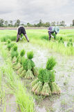 Farmer harvest  rice sprouts. Royalty Free Stock Photography