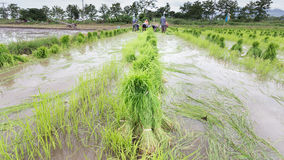 Farmer harvest  rice sprouts. Royalty Free Stock Image