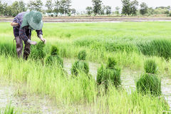 Farmer harvest  rice sprouts. Royalty Free Stock Photo