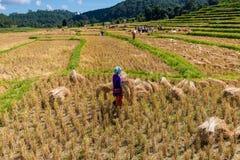 Farmer harvest rice Stock Images
