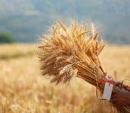 Farmer harvest seed of Barley Field in period Barley field detai Royalty Free Stock Photos