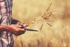 Farmer harvest seed of Barley Field in period Barley field detai Royalty Free Stock Images