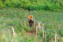 Farmer harvest tomato. In chiagmai thailand Royalty Free Stock Image