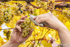 Farmer harvest white grapes. Grapes harvest. Farmer cuts a ripe white grapes in vineyard Stock Photos