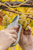 Farmer harvest white grapes. Grapes harvest. Farmer cuts a ripe white grapes in vineyard Royalty Free Stock Images