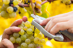 Farmer harvest white grapes. Grapes harvest. Farmer is cutting a ripe white grapes in vineyard Royalty Free Stock Photo