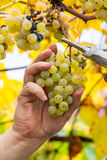 Farmer harvest white grapes. Grapes harvest. Farmer is cutting a ripe white grapes in vineyard Stock Photo