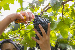 Farmer harvested grapes at a vineyard. Purple red grapes with green leaves at a vineyard Royalty Free Stock Photo