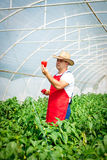 Farmer harvested ripe peppers in a greenhouse Royalty Free Stock Photos