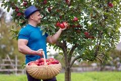 Farmer harvesting apples Stock Photos
