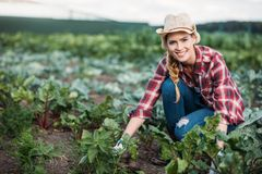 Farmer harvesting beets Stock Images
