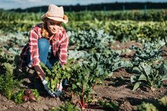 Farmer harvesting beets. Young female farmer in hat harvesting beetroots in field Stock Image