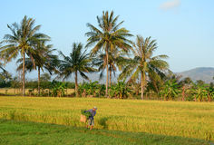 Farmer harvesting and carrying rice to home Royalty Free Stock Images