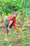 Farmer is harvesting coffee berries Stock Images