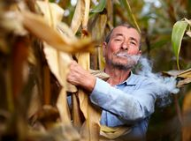 Farmer harvesting corn and smoking Stock Image