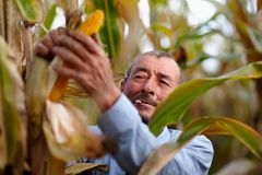 Farmer harvesting corn and smoking Stock Photography