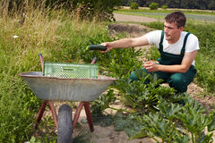 Farmer harvesting courgettes Stock Image