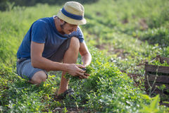 Farmer harvesting fresh crop of parsley on the field at organic eco farm. Young farmer in hat harvesting fresh crop of parsley by knife and putting it in wood Royalty Free Stock Photography